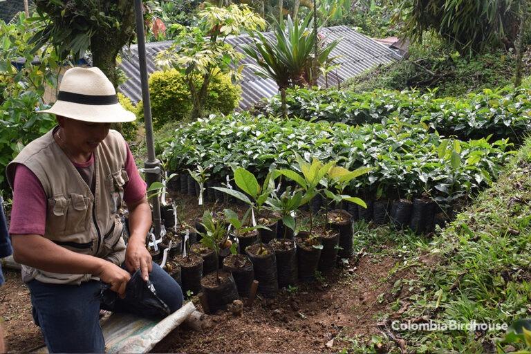 Planting coffee trees