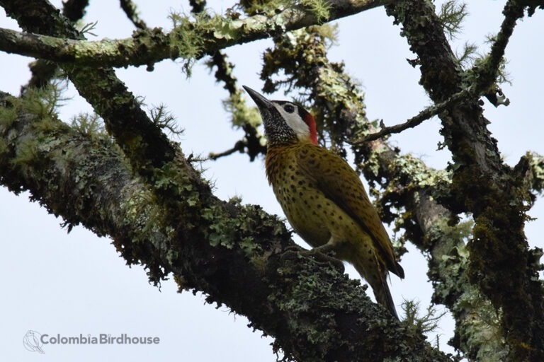 Spotted-breasted Woodpecker